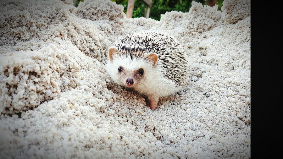 Dwarf Hedgehogs Are Playing Sand. Beauty In Nature first eyeem photo Outdoors Hristmas Hat Low Section Close-up Animal Wildlife No People High Angle View Day Animals In The Wild Animal Themes Hedgehog One Animal Nature Sand Mammal Nature Pets Indoors