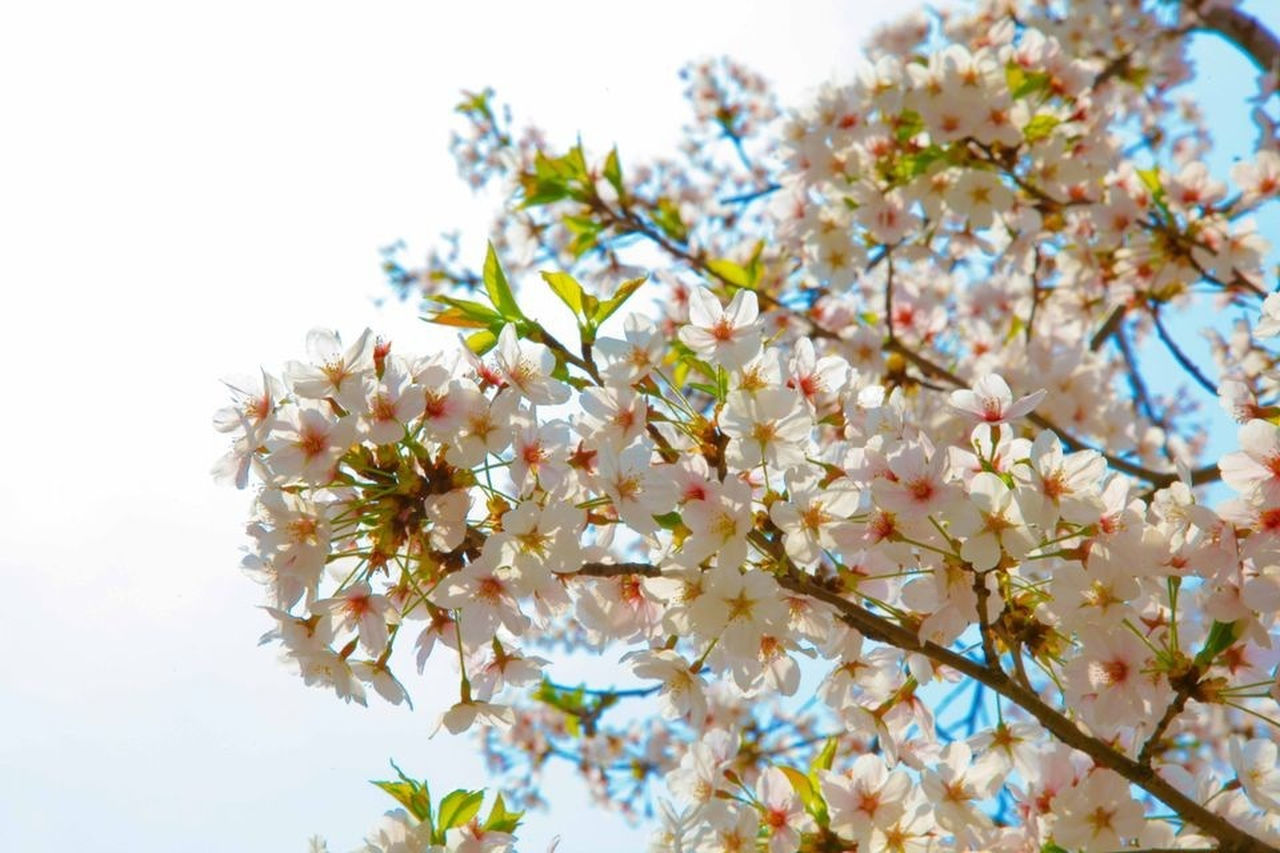 flower, blossom, fragility, growth, nature, beauty in nature, springtime, tree, apple blossom, freshness, botany, branch, white color, twig, petal, no people, low angle view, spring, day, blooming, outdoors, close-up, flower head, sky