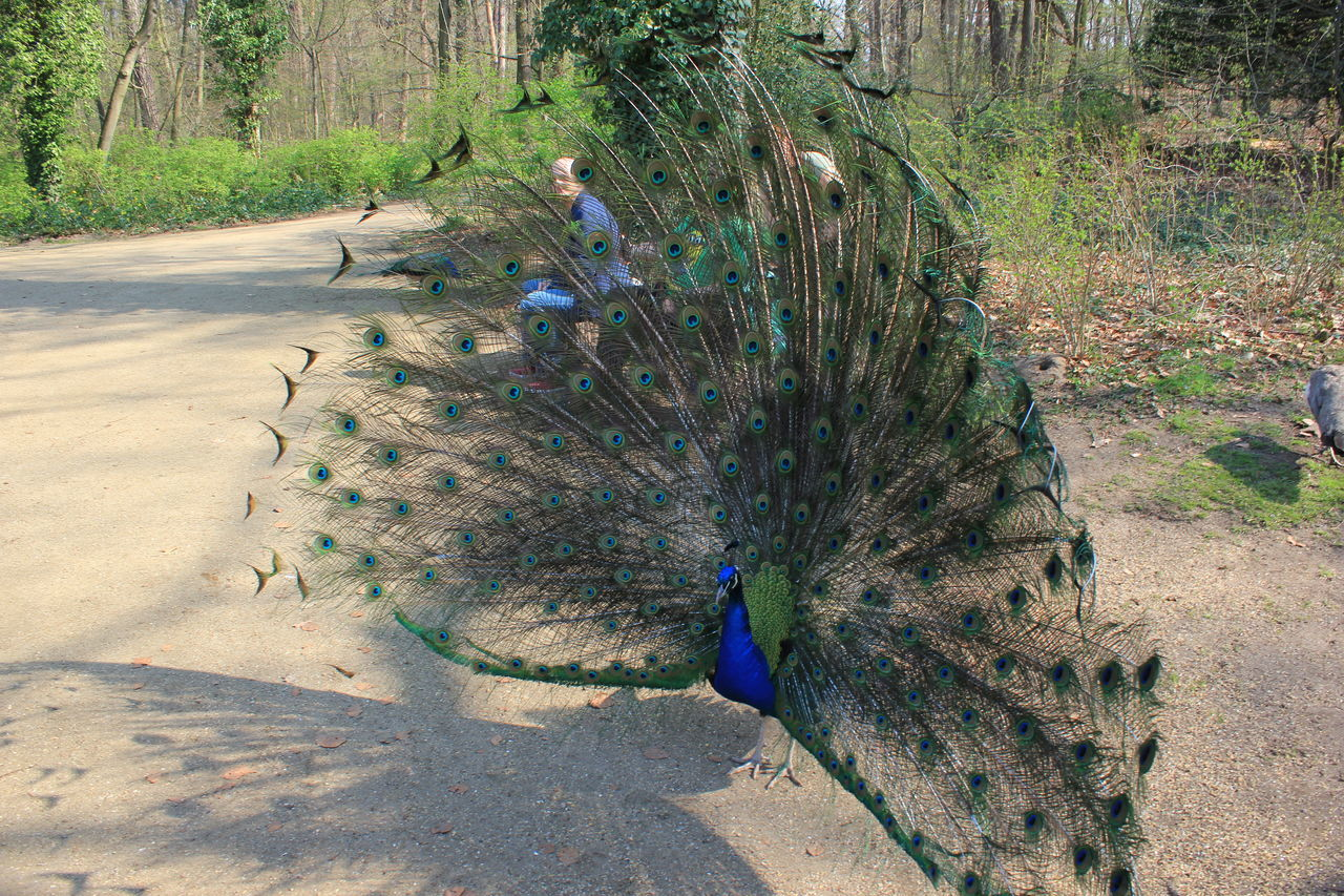 peacock, animal themes, bird, animals in the wild, one animal, nature, day, peacock feather, beauty in nature, animal wildlife, outdoors, fanned out, tree, feather, real people, growth