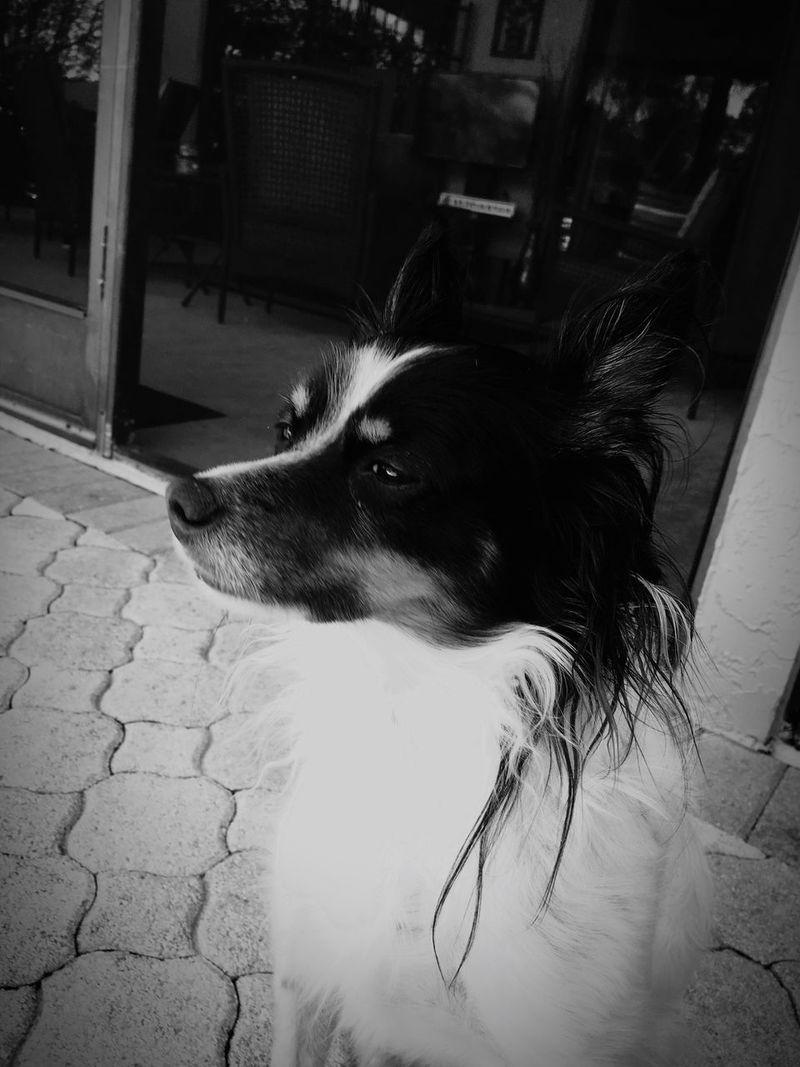 One Animal Pets Animal Themes Dog Domestic Animals Mammal No People Close-up Outdoors Day Papillon Mix Shetland Sheepdog Mix Dogs