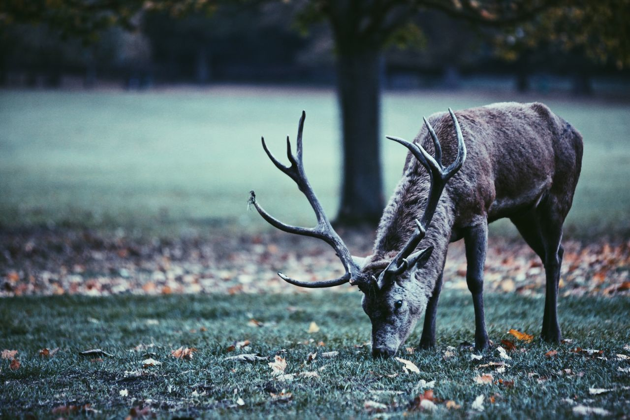Animal Themes Animals In The Wild Nature Deer No People Mammal One Animal Day Tree Antler Outdoors Wollaton Hall Nottingham Rural England Autumn Grass Stag