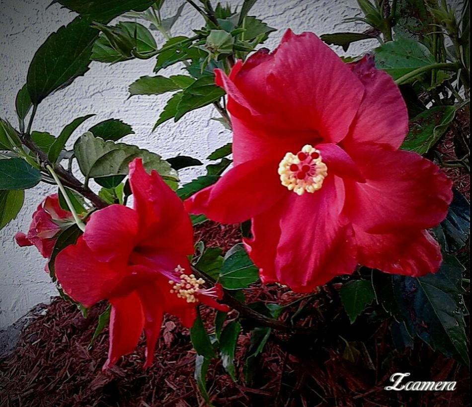 Hibiscus Red Flower Beauty In Nature In The Garden