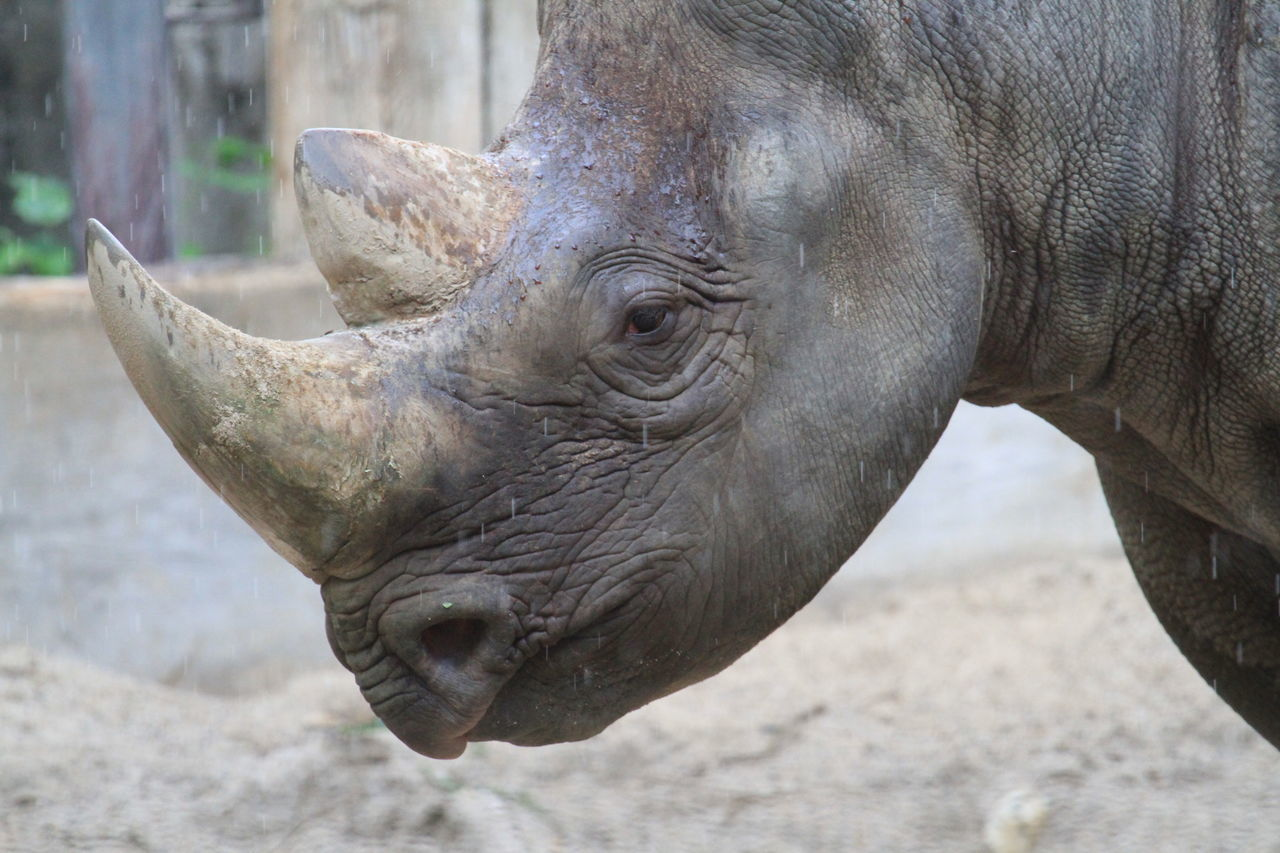 Close-up Day Horn Mammal No People One Animal Outdoors Rhino Rhino Head Rhino Horn Rhinoceros