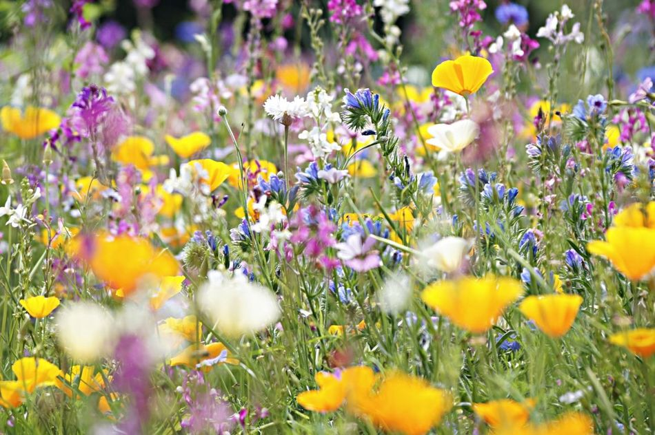 Beautiful stock photos of meadow, Abundance, Beauty In Nature, Day, Flower