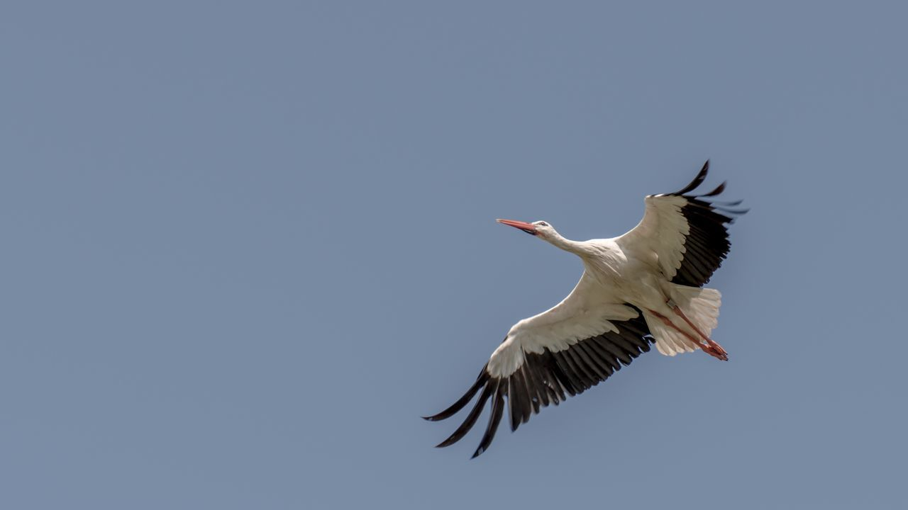 Low Angle View Of A Bird In Flight Against Clear Sky