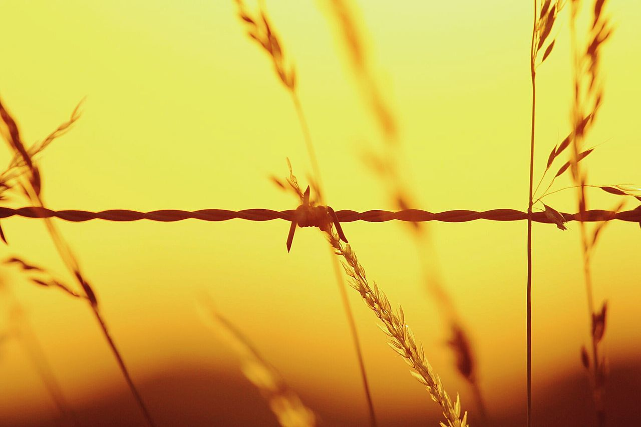 Close-Up Of Reed Grass With Barbed Wire During Sunset