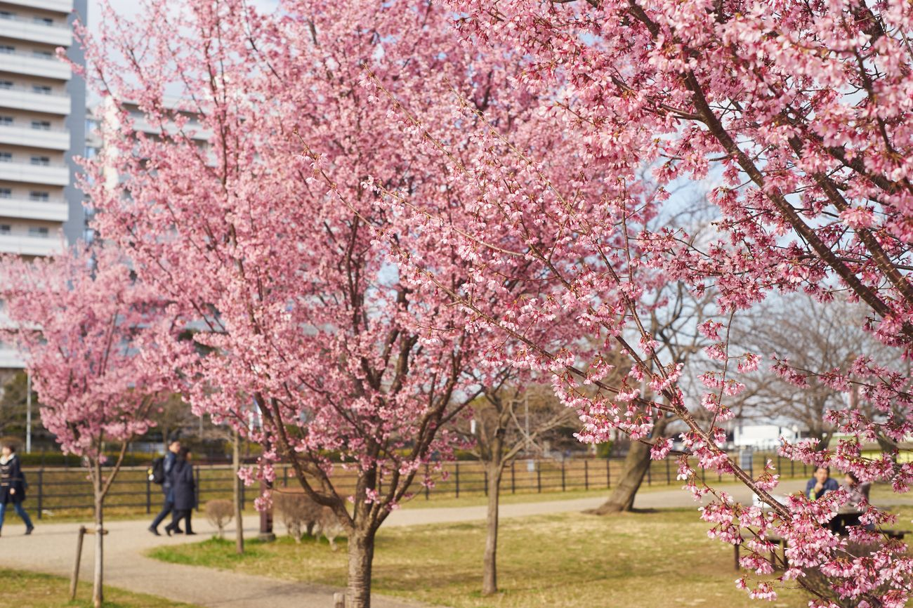 Tree Blossom Flower Cherry Tree Cherry Blossom Growth Abundance Pink Color Springtime Nature City Outdoors Branch Crowd Men Adults Only Almond Tree Adult People Freshness Cherry Blossoms Sakura Nature_collection Spring Flowers Millennial Pink