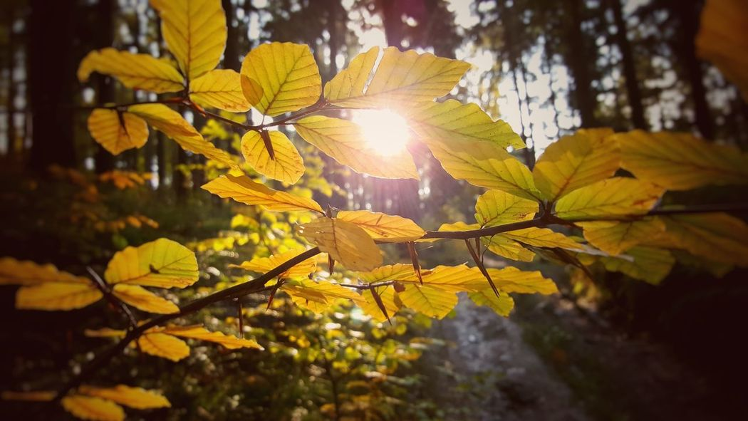 I didn't know which photo choose... So I upload both. I hope that you'll help me choose better photo :) Autumn Beauty In Nature Branch Close-up Day Fall Filtr Flower Head Growth Leaf Lens Flare Nature No People Outdoors Plant Poland Sun Sunbeam Sunlight Tree Yellow