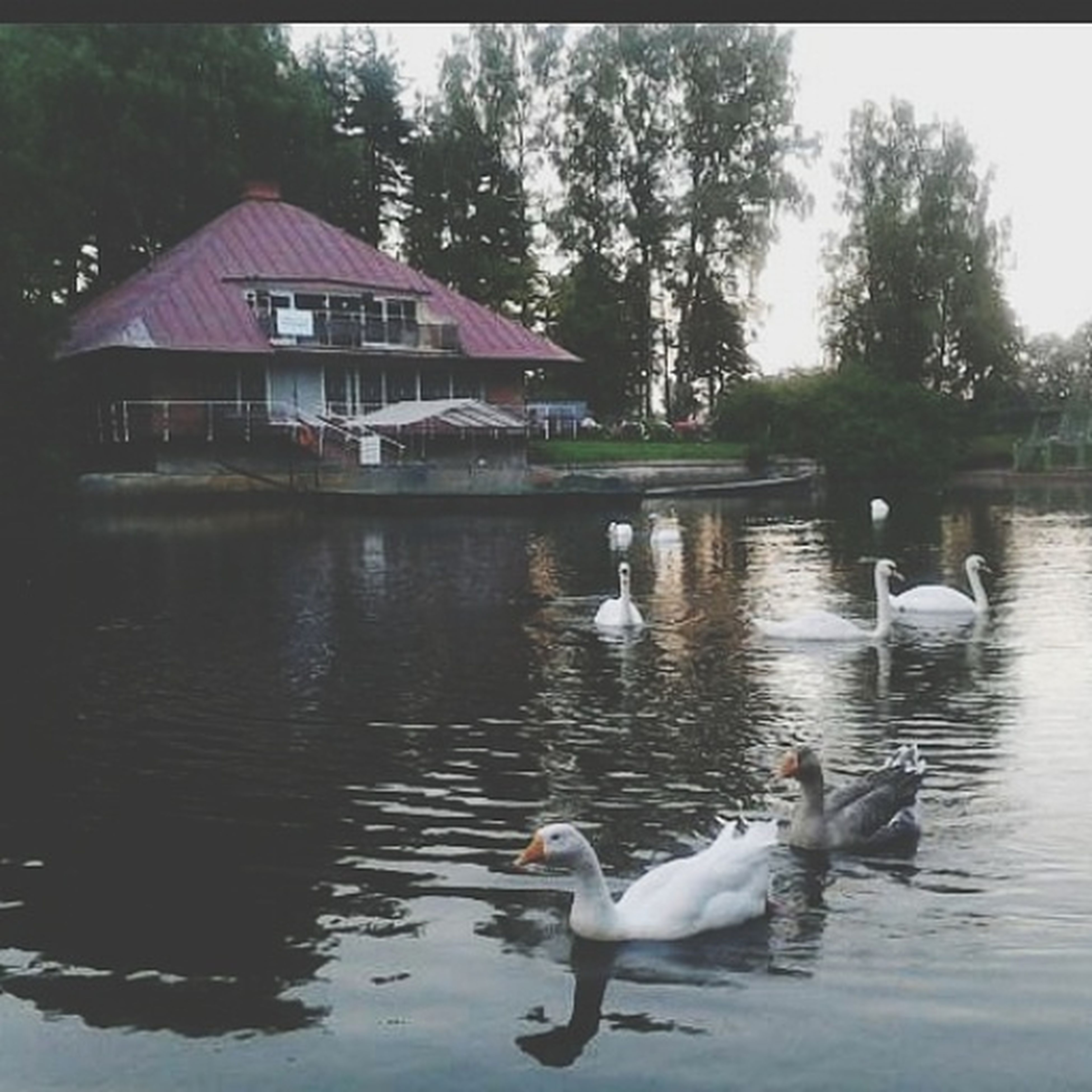 bird, animal themes, animals in the wild, wildlife, water, duck, lake, reflection, swimming, building exterior, built structure, swan, waterfront, water bird, architecture, nature, medium group of animals, two animals, flock of birds