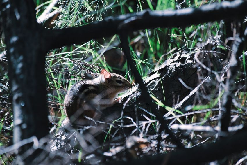 Nestled Animals In The Wild Animal Themes Nature Tree No People Animal Wildlife One Animal Outdoors Day Branch Forest Mammal Bird Beauty In Nature Close-up Tranquility Selective Focus Chipmunk Bokeh Door County Shadow Shadows & Lights EyeEmNewHere