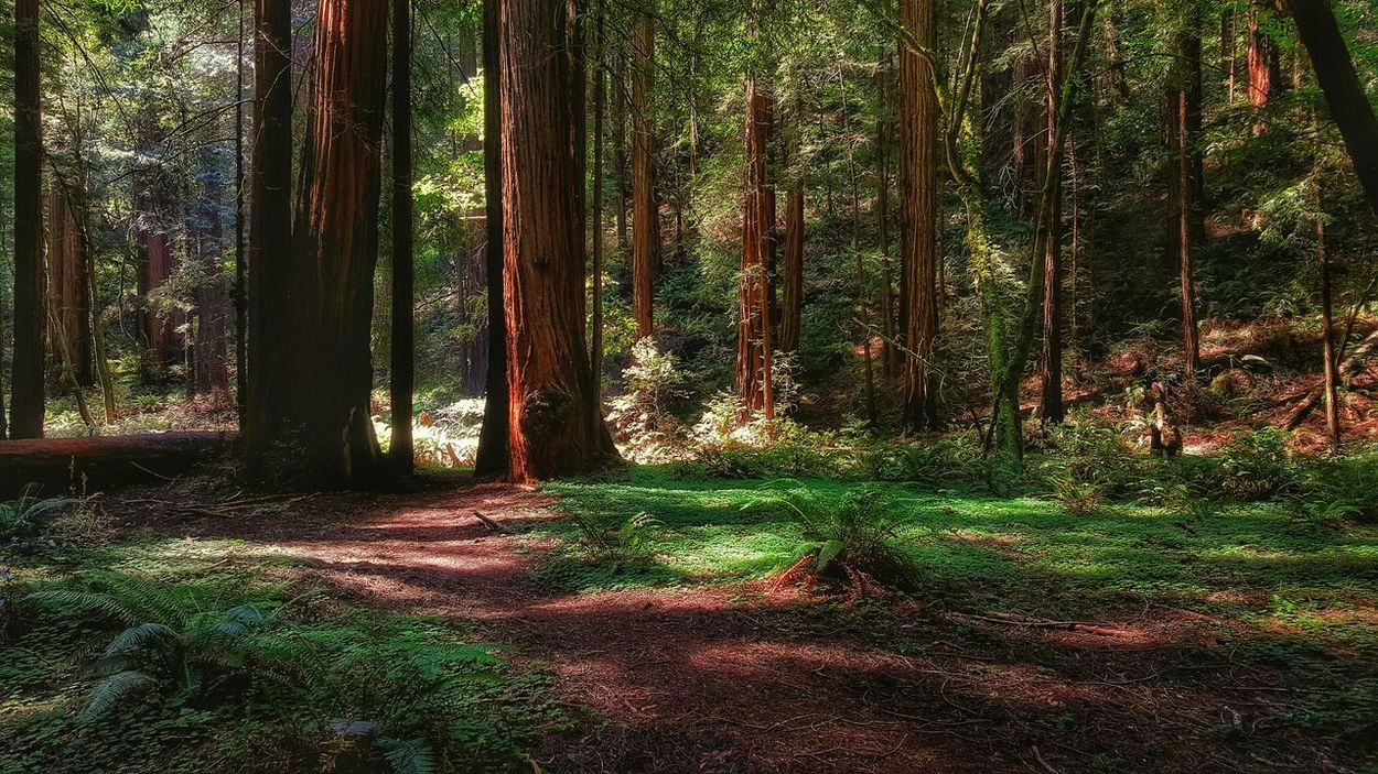Forest Trees Forests Redwood Redwoods Redwood Trees Northern California Forest Path Mystic Woods Ancient Trees Tall Trees The Great Outdoors – 2016 EyeEm Awards