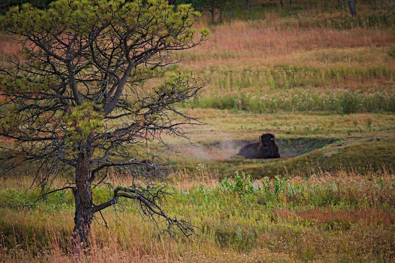 Born to be wild. Adventure Buffalo Canon Canon 70d Canonphotography Explore Exploring EyeEm Best Shots EyeEm Nature Lover Grass Grassy Landscape Nature Nature Photography Nature_collection Naturelovers Outdoors Popular Photos Tree Wildlife Wildlife & Nature Wildlife Photography