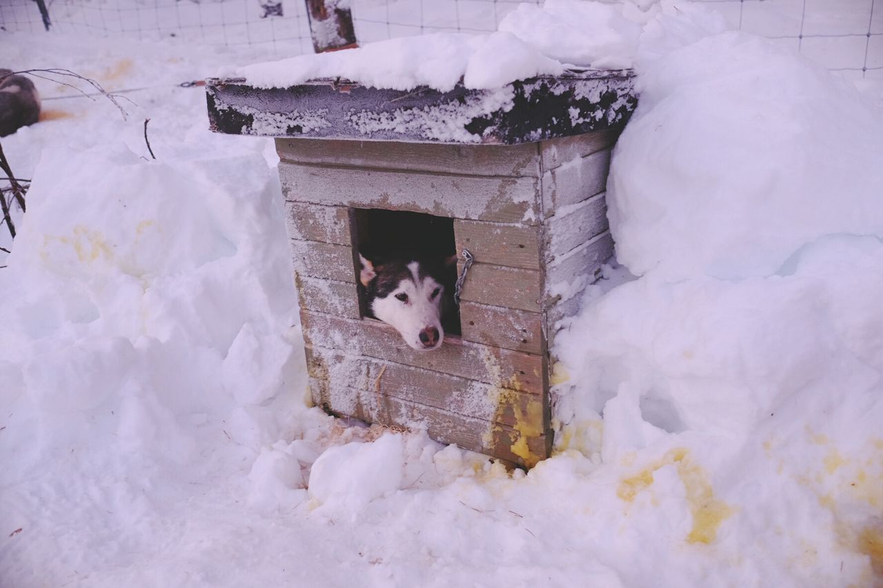 Siberian Husky Relaxing In Kennel On Snowcapped Field During Winter