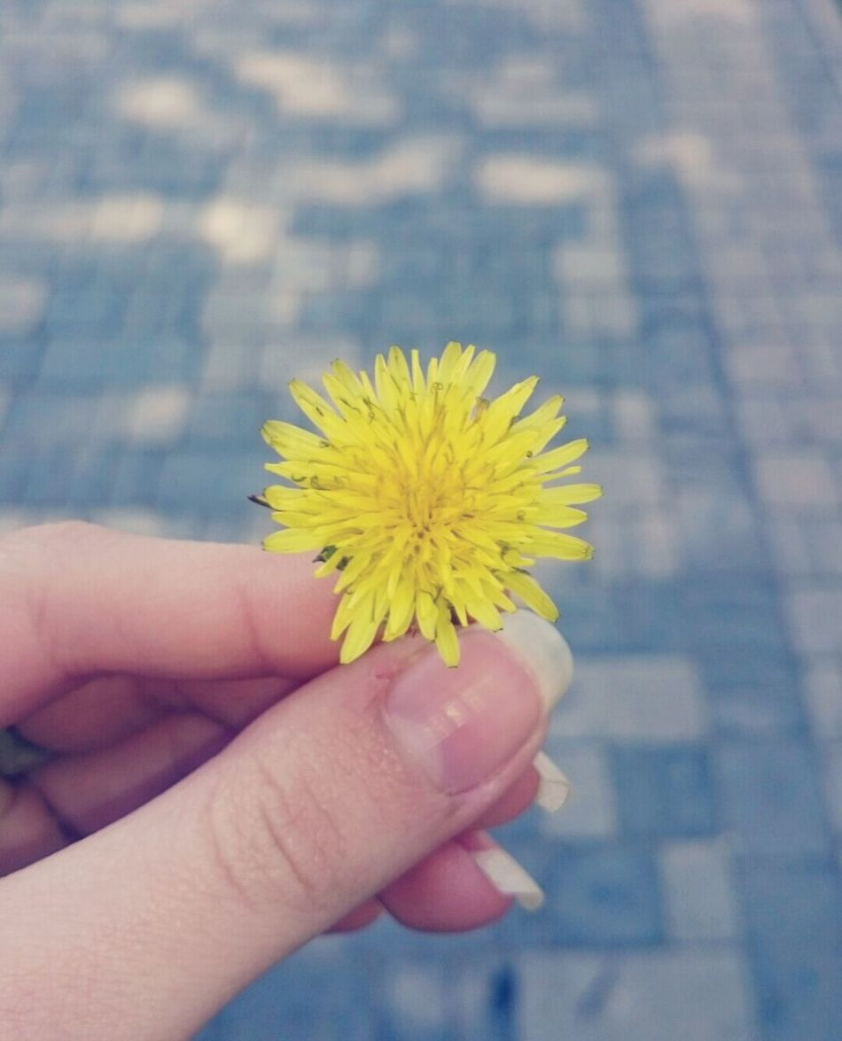 Dandelion Flower Dandelion In Spring Dandelions Bloom Dandelion Addiction