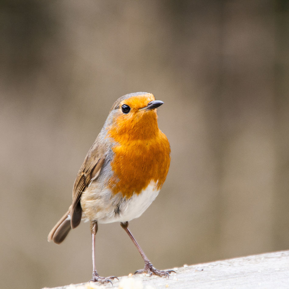 Alertness Avian Avianca Bird Little Redbreast Natural Nature Outdoors Robin Wildlife Zoology
