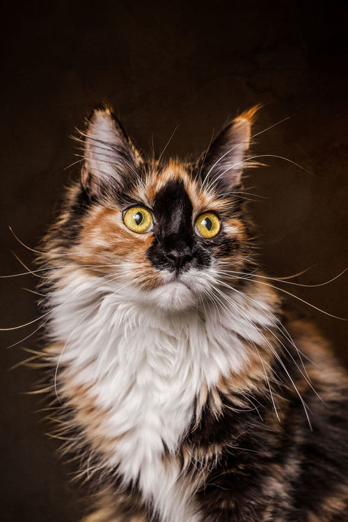 Portrait of Cat Animal Themes Cat Cats Close-up Day Domestic Animals Domestic Cat Feline Feline Portraits Kitten Kittens Looking At Camera Maine Coon Maine Coon Cat Maine Coon Cats Mammal No People One Animal Outdoors Pet Pets Portrait Whisker Yellow Eyes Pet Portraits