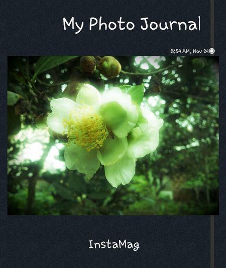 Tea flower IFlower Flowers