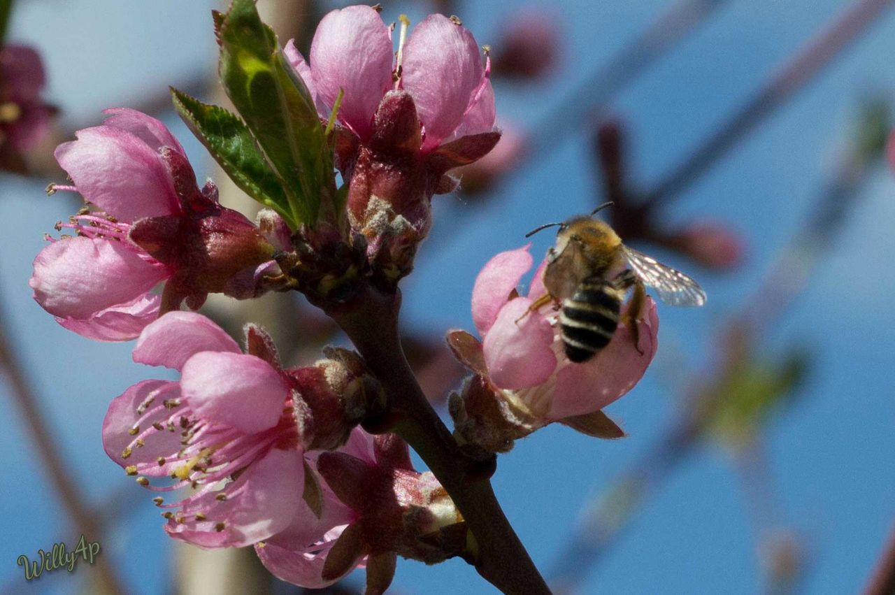 wild bee on peach blossom Wildbee Peachblossom EyeEm Best Shots - Nature Naturephotography Nature Photography Natur Pur Nature_collection Naturelover Landscape Nature_perfection Focus On Foreground Nature Springtime Peach Color Peach Blossom No People Nature Insect Beauty In Nature Animals In The Wild One Animal Animal Wildlife Outdoors Buzzing