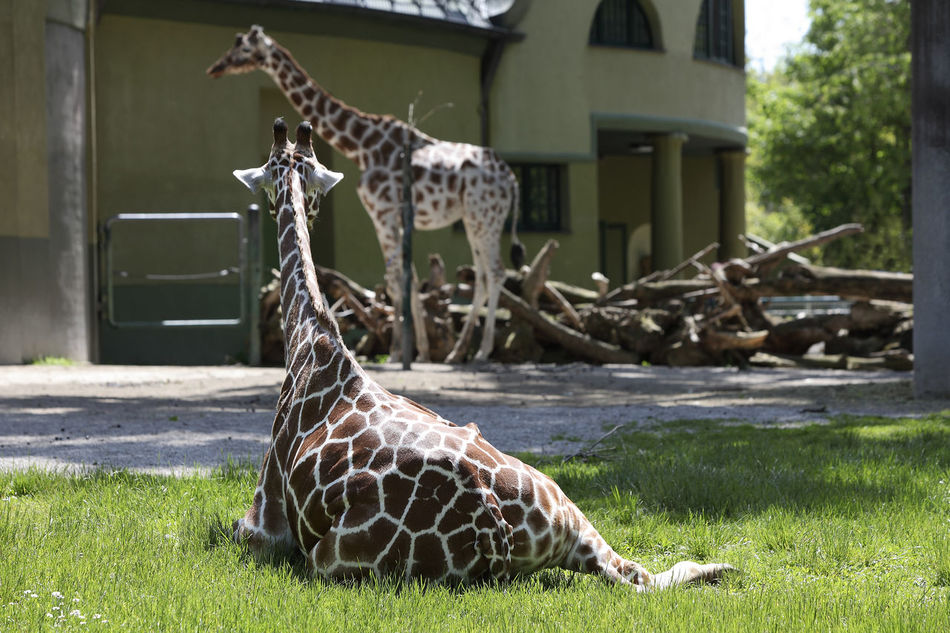 Animal Themes Animal Wildlife Animals In The Wild Architecture Building Exterior Built Structure Day Giraffe Giraffes Giraffe♥ Grass House Mammal Nature No People One Animal Outdoors