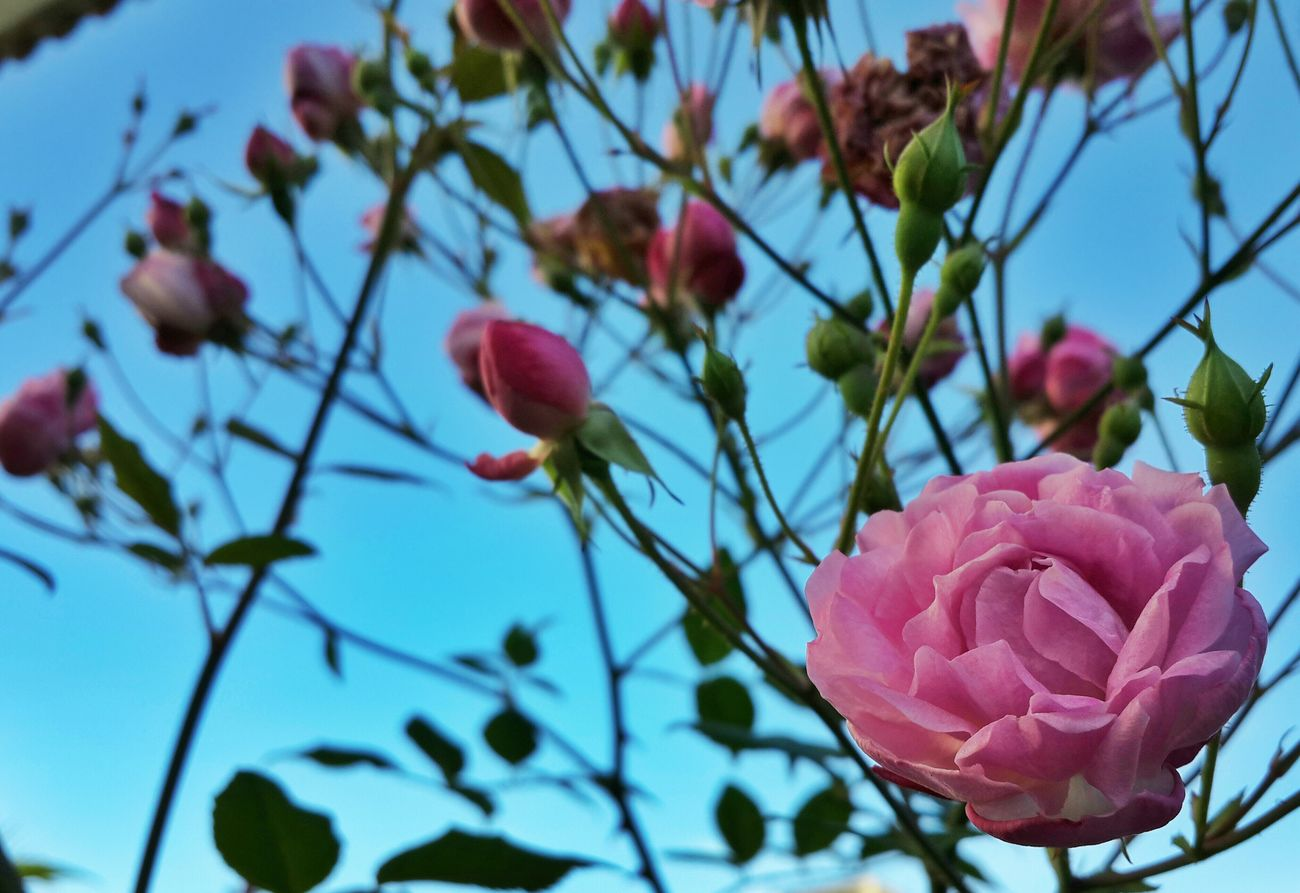 Pink Roses Flowers Roses Nature #beauty First Eyeem Photo