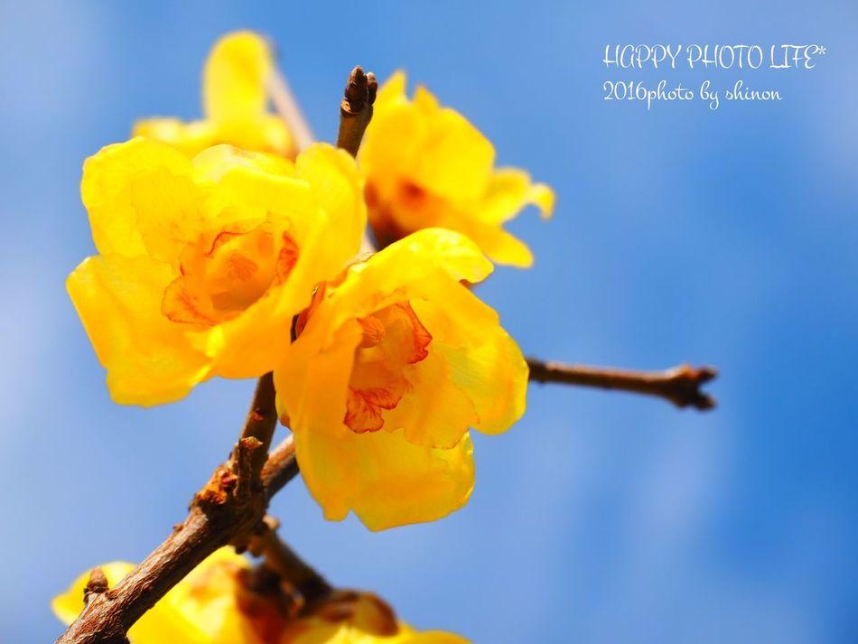 庭の花 庭の木 蝋梅 空 青空 Flowers My Garden Flowers In My Garden Olympus倶楽部 Olympus Om_d E_M1 Olympus OM-D EM-1 Olympusomd ファインダー越しの私の世界 写真を撮ってる人と繋がりたい 写真好きな人と繋がりたい