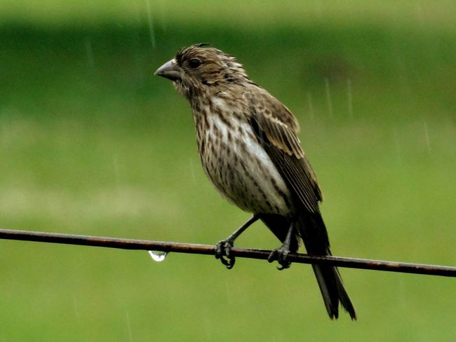 Wet finch on clothesline in the backyard. The Birds love Playing In The Rain for some reason. It's when they're the most active. Nature On Your Doorstep Bird On A Wire Hanging Out Soaking Wet Beautiful Nature Pennsylvania TakeoverContrast