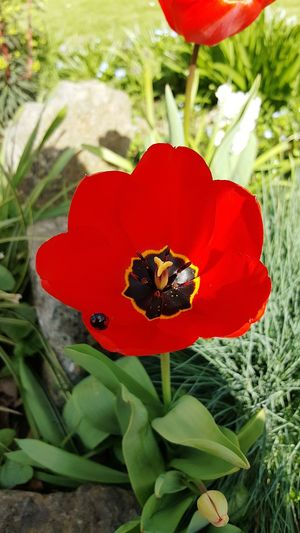 Red Flower Nature Growth Petal Beauty In Nature Fragility Freshness Flower Head Plant Close-up Outdoors Blooming No People Poppy Day Live For The Story