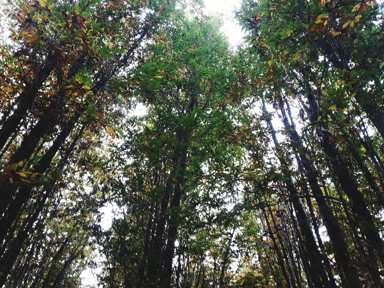 tree, low angle view, growth, nature, forest, beauty in nature, day, tree trunk, outdoors, branch, tranquility, no people, scenics, tranquil scene, bamboo - plant, sky
