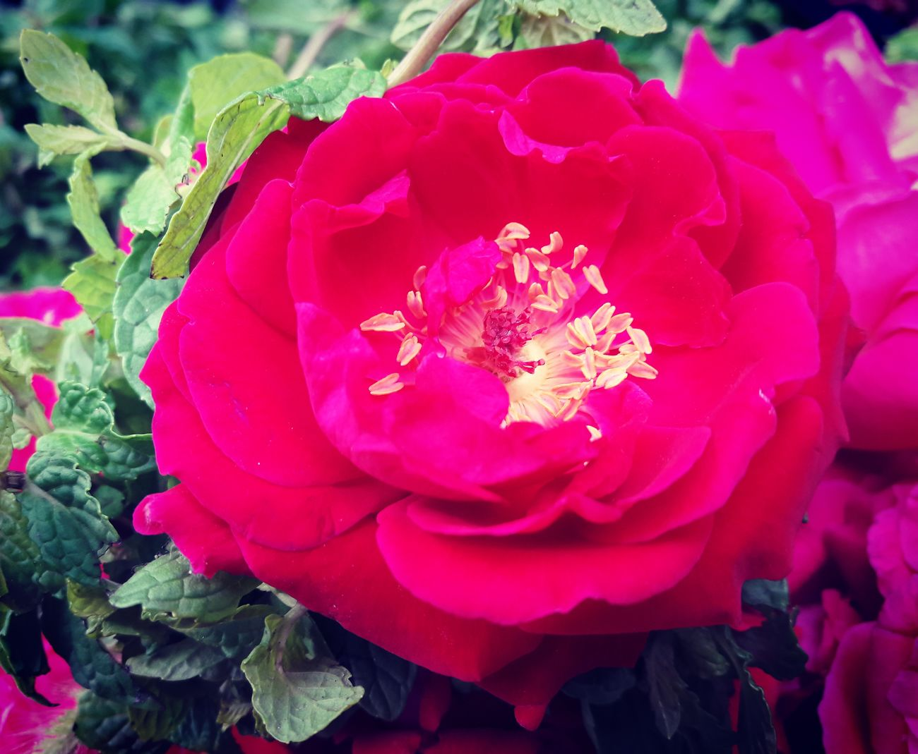 Roses SamsungJ7 Nawanlahore In Pakistan Mobilephotography Mobile Photography Red Flower Roses🌹 Red Rose Red This Week On Eyeem Flower Urban Spring Fever Eyeem Pakistan