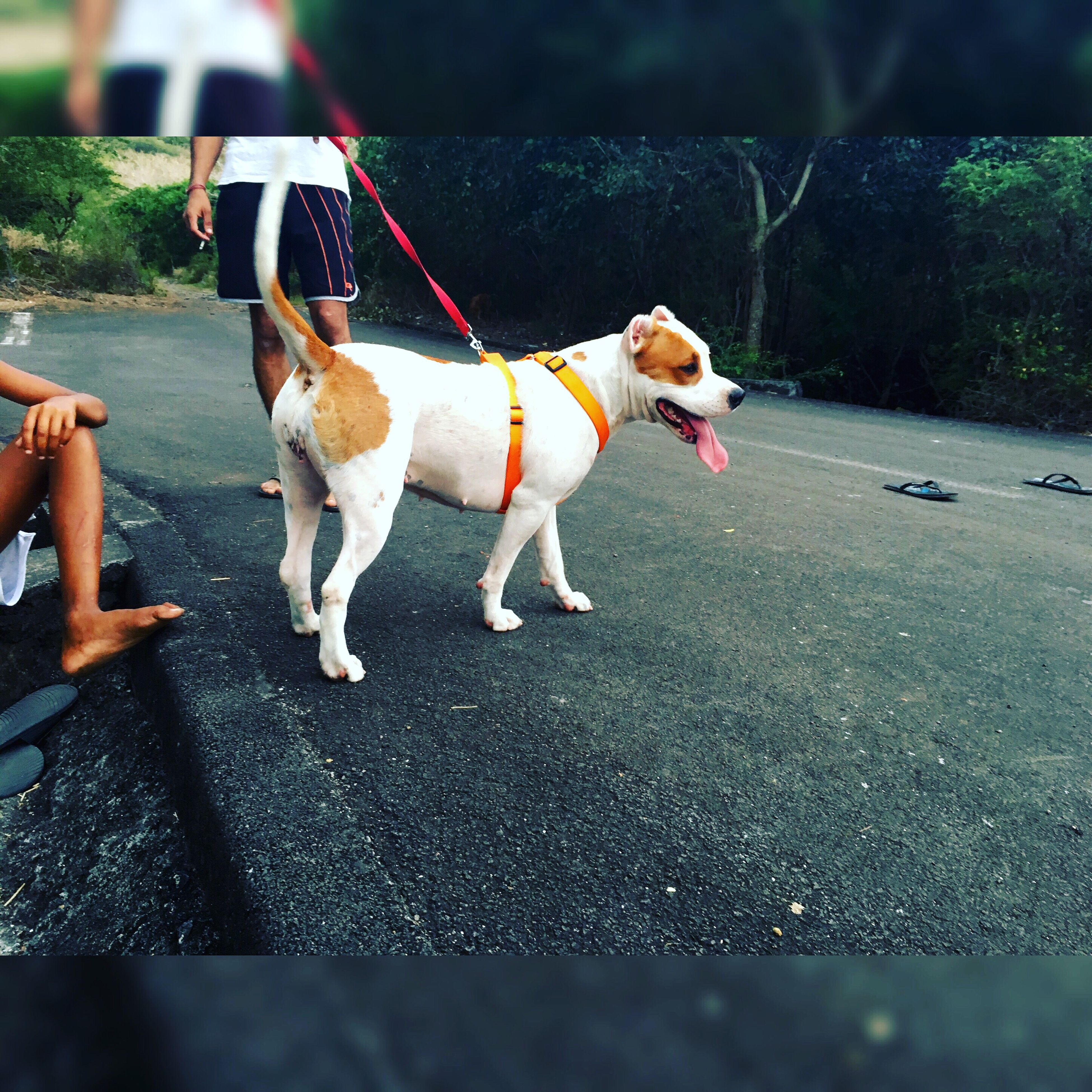 domestic animals, animal themes, one animal, pets, dog, mammal, street, road, transportation, road marking, pet leash, day, outdoors, pampered pets, zoology, animal, loyalty