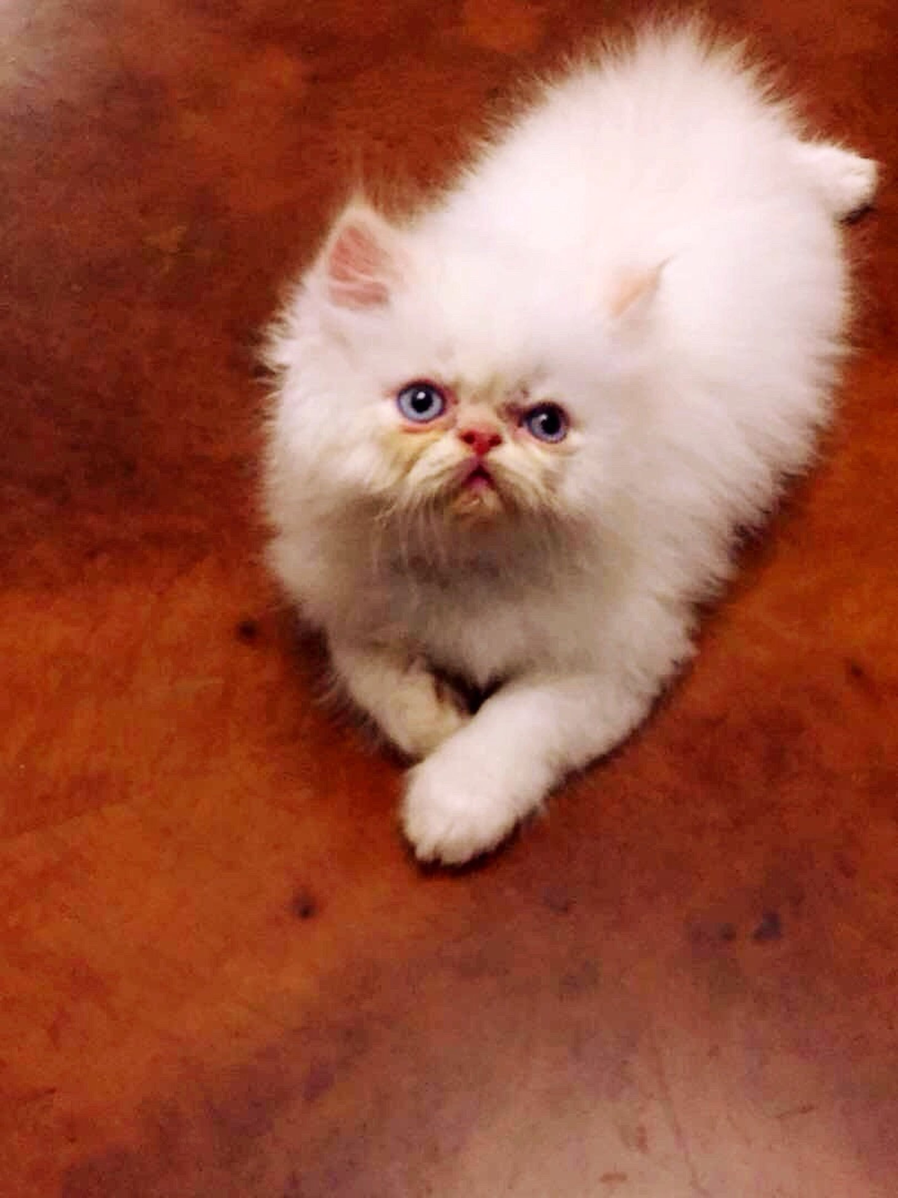 domestic cat, feline, pets, domestic animals, one animal, mammal, indoors, animal themes, whisker, portrait, looking at camera, persian cat, close-up, no people, day