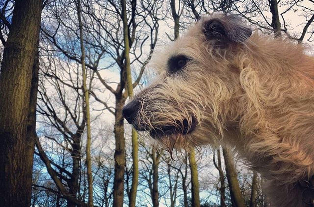 Listening. Curls Wolfie Wolfhound Dogstagram Dogs Love Photooftheday Amazing Smile Look Instalike Picoftheday Food Instadaily Irishgirl girl Bestoftheday All_shots Follow Webstagram Walking