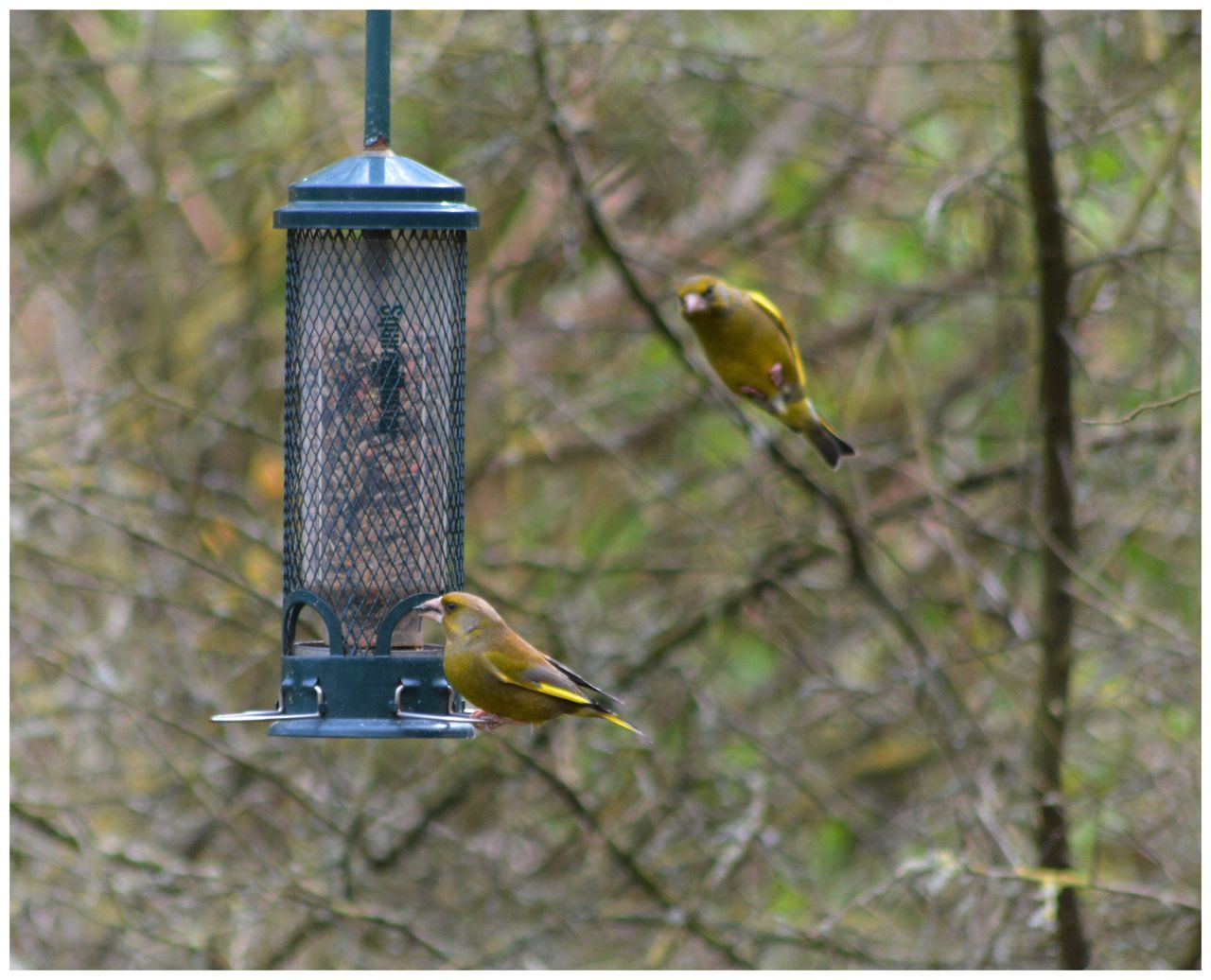 bird feeder, bird, animals in the wild, animal themes, focus on foreground, no people, animal wildlife, hanging, perching, day, outdoors, bluetit, one animal, bare tree, great tit, spread wings, nature, close-up