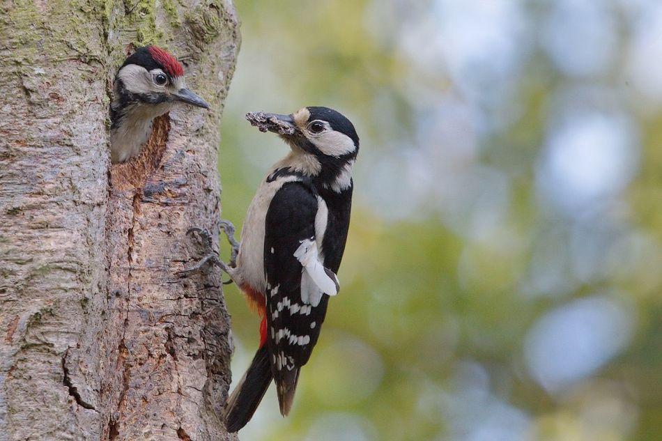 Beautiful stock photos of woodpecker, Animal Themes, Animal Wildlife, Animals In The Wild, Bird