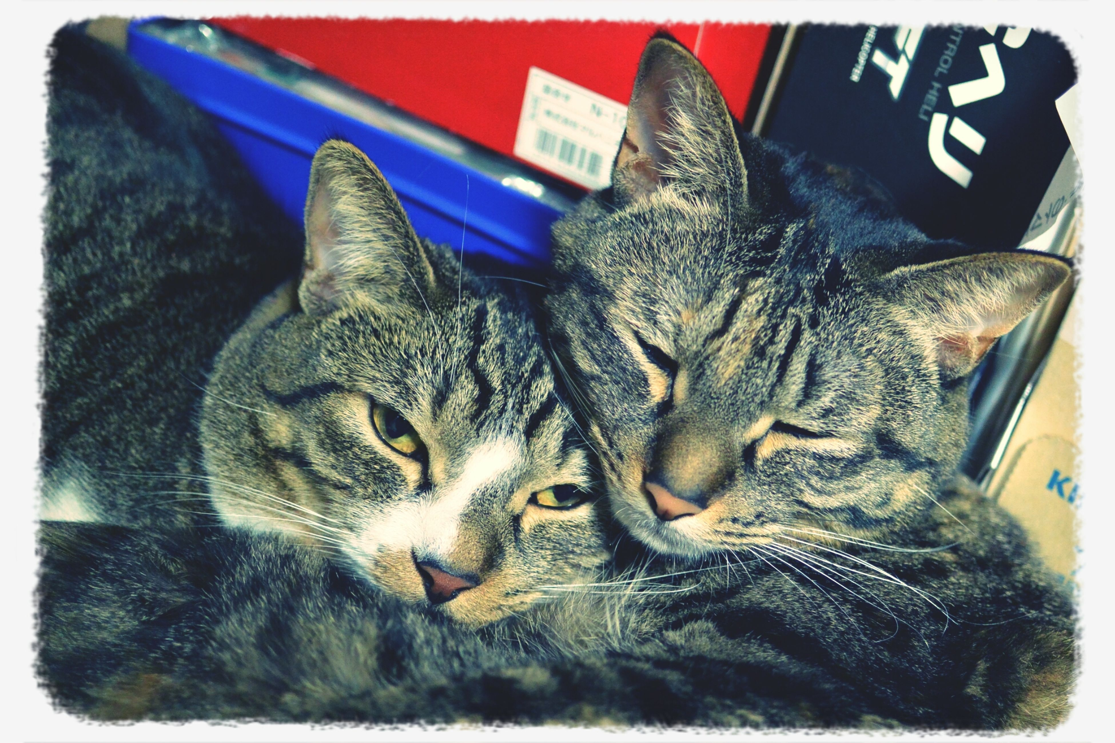 animal themes, one animal, domestic cat, mammal, cat, pets, feline, domestic animals, transfer print, auto post production filter, whisker, relaxation, lying down, close-up, resting, sleeping, indoors, two animals, no people, animal head