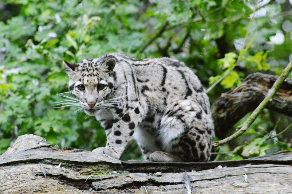 Beautiful stock photos of leopard, Animal Markings, Animal Themes, Animal Wildlife, Animals In The Wild