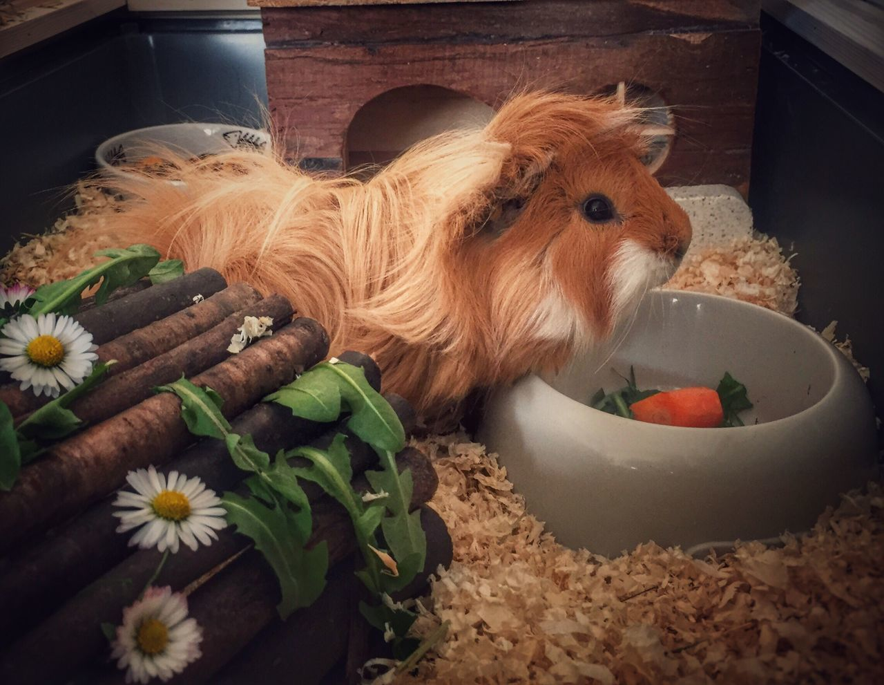 Beautiful stock photos of guinea-pigs, Animal Themes, Carrot, Container, Domestic Animals