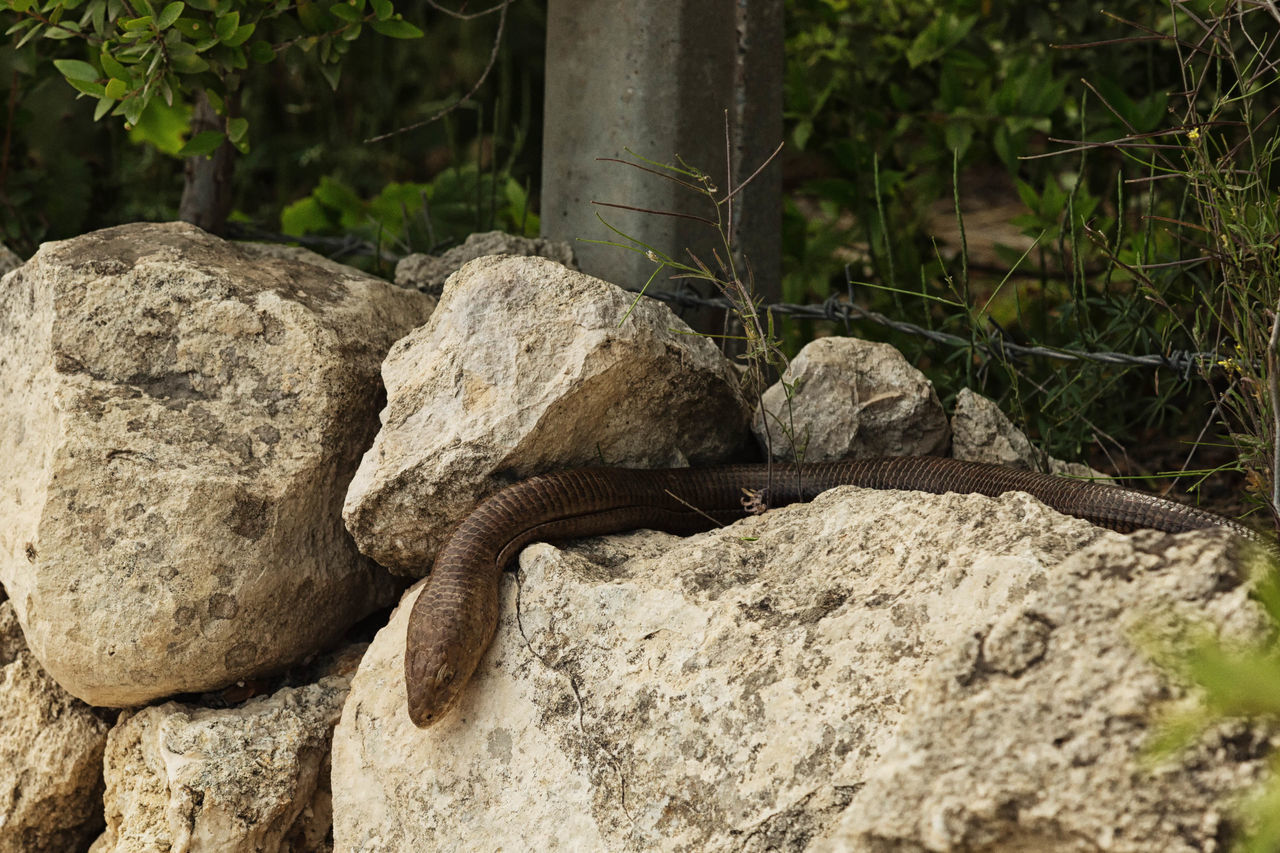 reptile, no people, outdoors, day, animals in the wild, nature, lizard, rock - object, one animal, animal wildlife, animal themes, close-up, iguana, tree
