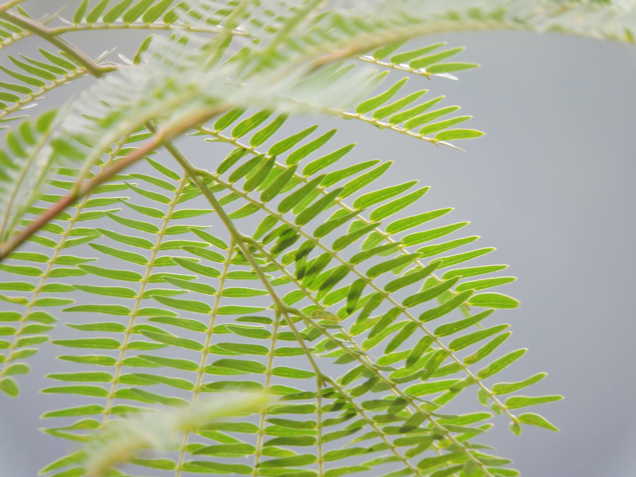 Leaf Nature Green Color Close-up Growth Plant Pinaceae No People Day Pine Tree Beauty In Nature Outdoors Tree Branch Freshness