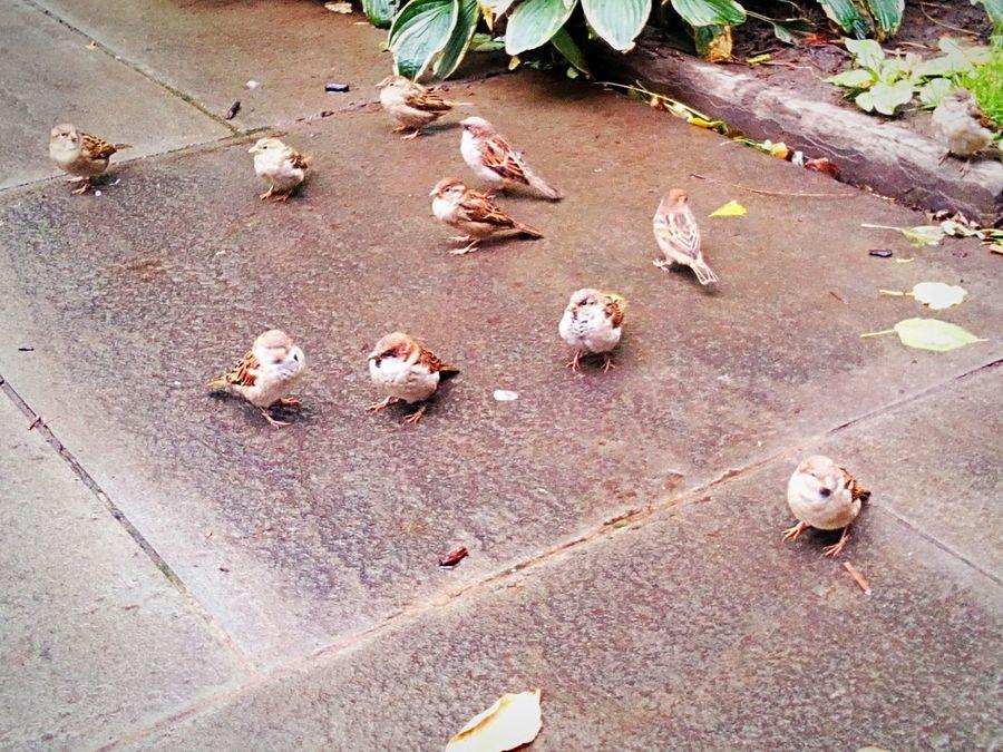 Animal Themes Birds Sparrows Birds On The Ground