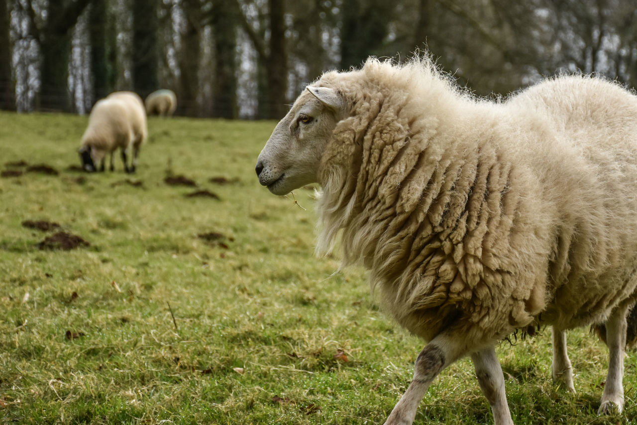 Animal Themes Grass Mammal Field Focus On Foreground Nature Animals In The Wild Livestock Sheep One Animal Animal Wildlife Beauty In Nature Outdoors Eye4photography  EyeEm Best Shots - Nature Sheep Farm Sheep🐑 Farming Agriculture