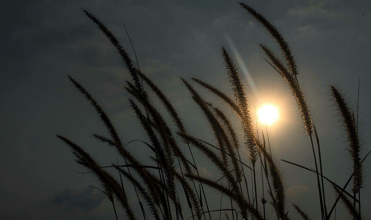 Nature On Your Doorstep Mission Grass Pennisetum Polystachion Sunset @Pesona Sasak Panjang Light Painting Light And Shadow Sundown Golden Hour