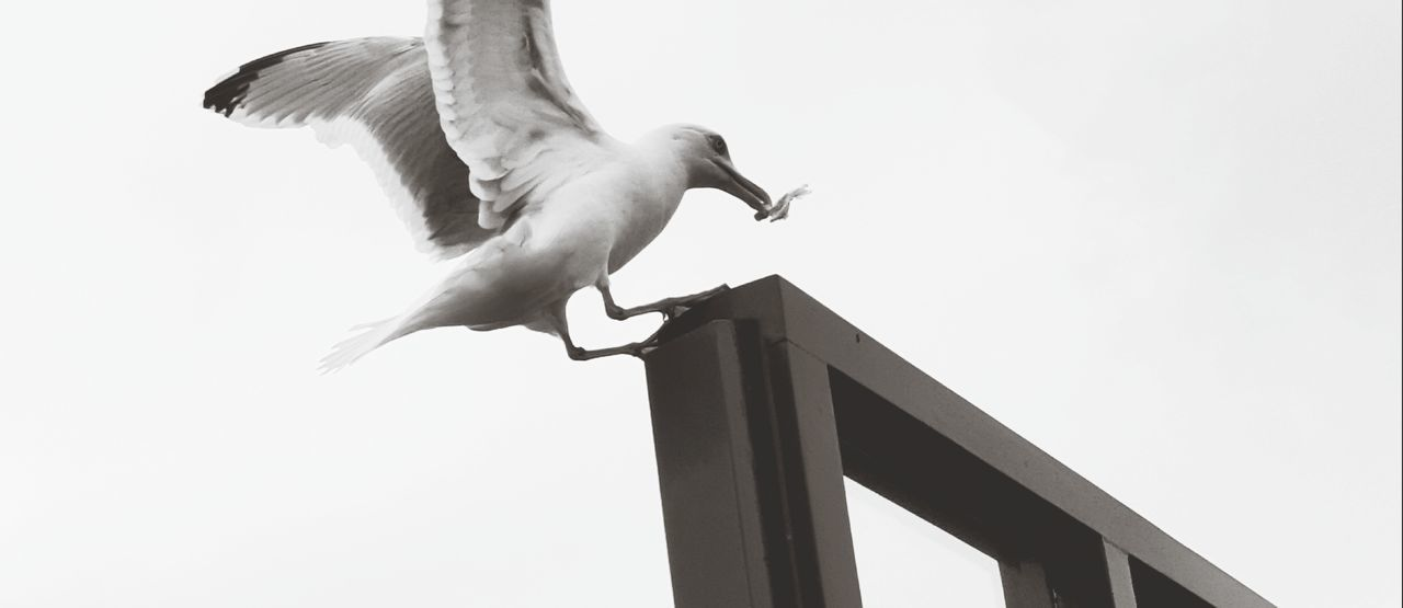 low angle view, bird, animal themes, animals in the wild, spread wings, flying, mid-air, day, clear sky, outdoors, no people, animal wildlife, architecture, seagull, built structure, full length, nature, sky