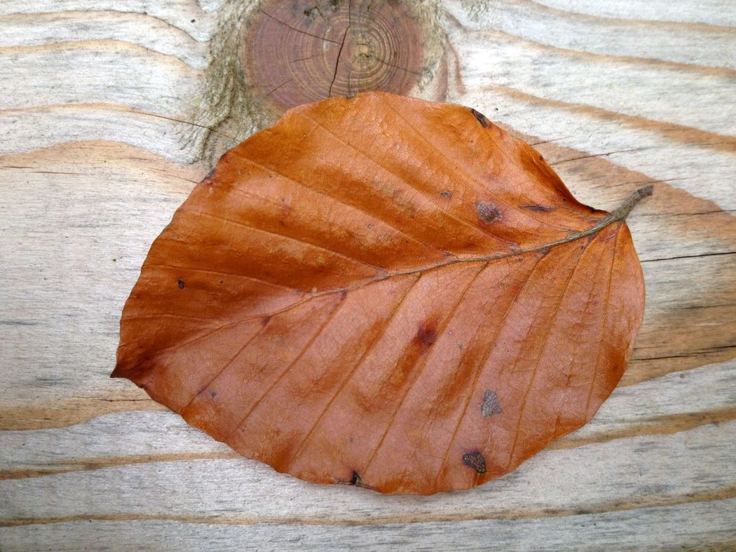 Leaf from a beech tree in closeup Autmn Colors Autumn Autumn Leaves Beech Beech Tree Botanik Brown Close-up Closeup Day Fragility Freshness Leaf Nature Nobody One Single Object Wooden Wooden Background