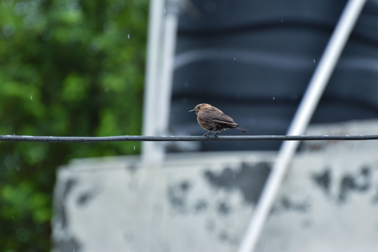 Beauty In Nature Bird Bird Photography Birdwatching Black Bird Day Drizzling Junco Mourning Dove Nature No People Outdoors Songbird  Sparrow