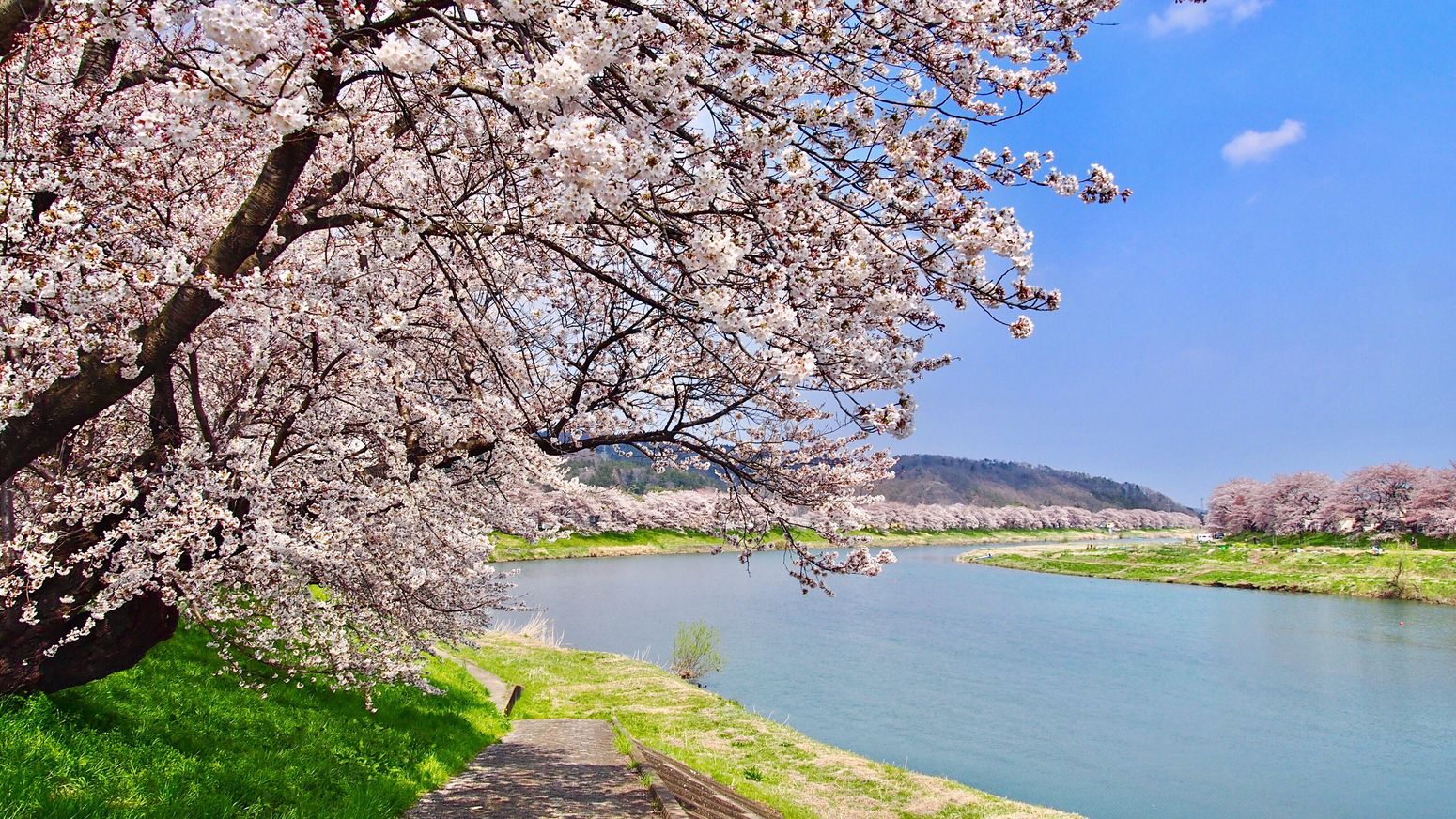 Spring Has Arrived 🌸🍡🍱🍶🌸 Ogawara Miyagi Tohoku Japan Photography Cherry Blossoms Sakura Spring Riverside Beauty In Nature Spring Flowers Pink Color Trees And Sky Springtime Japan Scenery EyeEm Best Shots Enjoying The View 一目千本桜 大河原 宮城県 東北 桜並木 春 桜 お花見