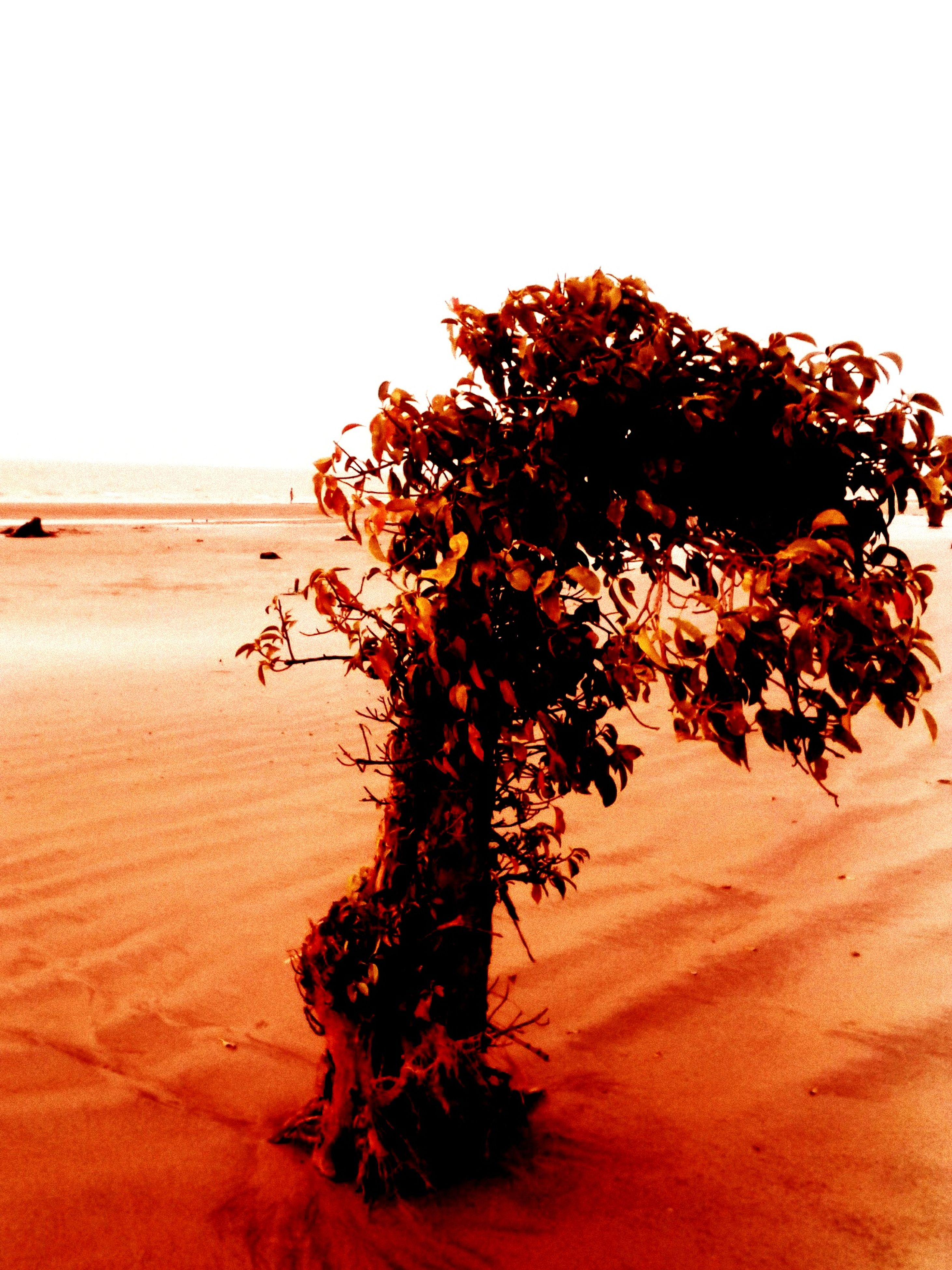 clear sky, sand, tranquility, tranquil scene, nature, beach, desert, copy space, tree, landscape, beauty in nature, red, scenics, arid climate, remote, growth, non-urban scene, sky, no people, dry