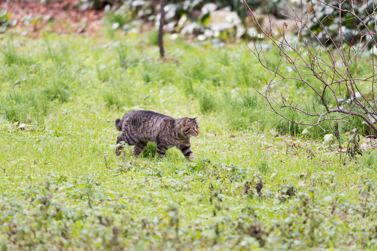 Prowling Stray Cat One Animal Animal Themes Grass Nature No People Outdoors Field Growth Mammal Animals In The Wild Animal Wildlife Cat Cats Stray Cat Stray Animal Grassy Focus On Foreground Feline Green Prowl Prowling Leopard Day Istanbul Beauty In Nature