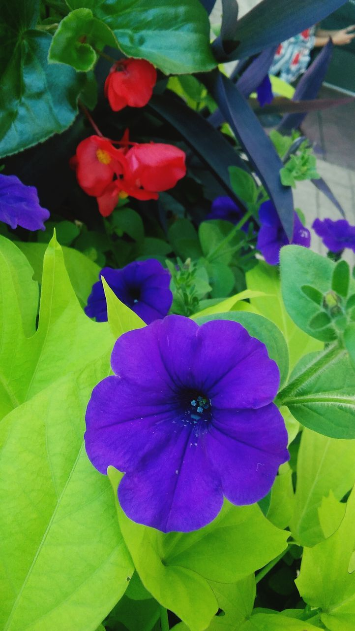 flower, fragility, petal, beauty in nature, growth, leaf, flower head, plant, freshness, nature, day, purple, no people, outdoors, close-up, petunia, blooming