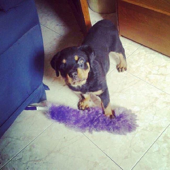 Mi perro quiere limpiar el polvo jaja Quecolaborador Loadoro